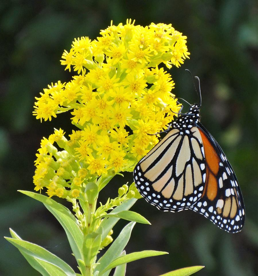 monarch butterfly on yellow flowers