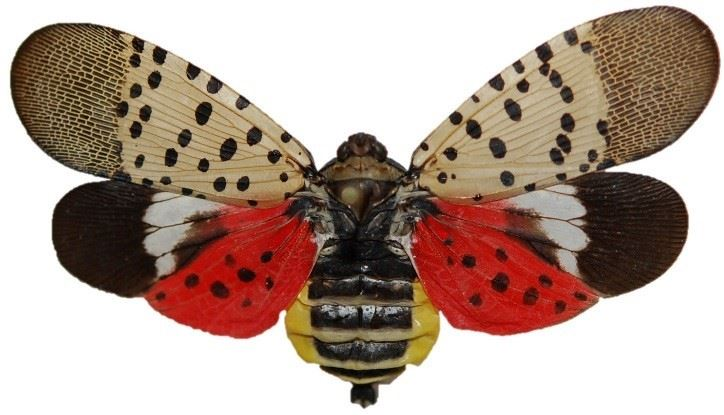 Spotted Lantern Fly image